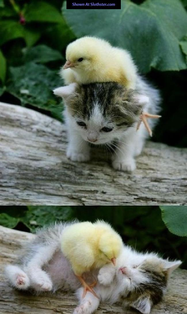 mixed-s-cat-and-duck.jpg